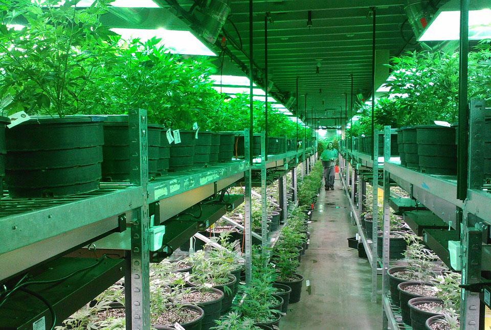 Marijuana Cannabis Manufacturing